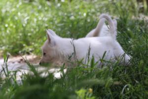 White-Swiss-Shepherd-Puppies-BTWWL-May-2019-0188