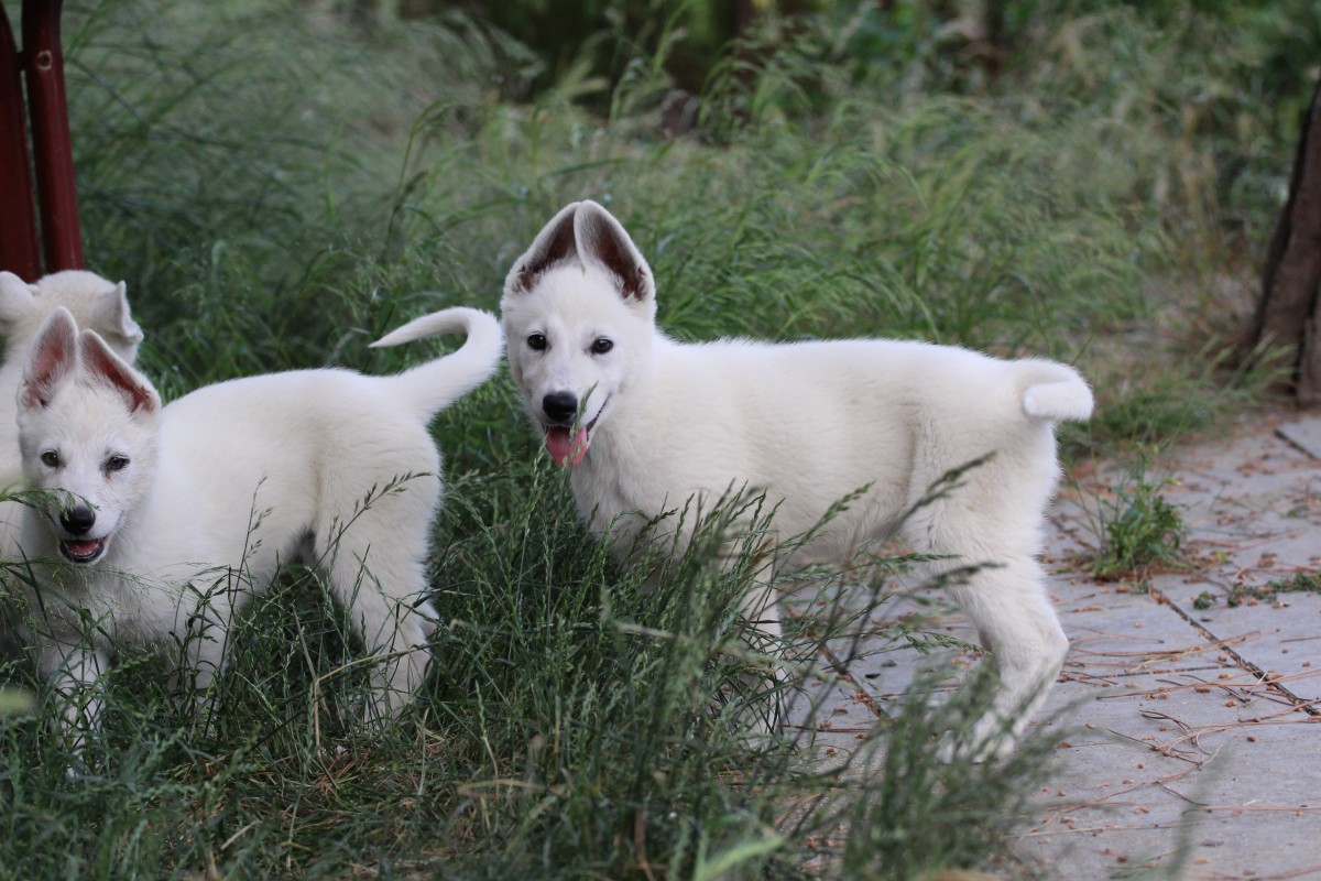 White Swiss Shepherd Puppies Available from Brazilian Male 2