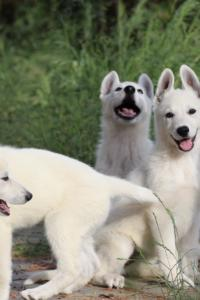White-Swiss-Shepherd-Puppies-BTWWLPups-130619-0001