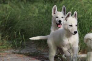White-Swiss-Shepherd-Puppies-BTWWLPups-130619-0002