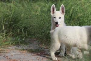 White-Swiss-Shepherd-Puppies-BTWWLPups-130619-0004