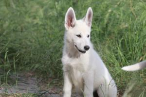 White-Swiss-Shepherd-Puppies-BTWWLPups-130619-0005