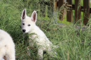White-Swiss-Shepherd-Puppies-BTWWLPups-130619-0006