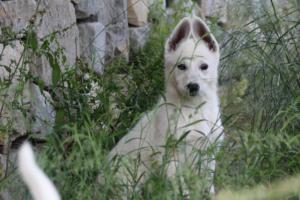 White-Swiss-Shepherd-Puppies-BTWWLPups-130619-0007