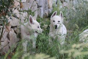 White-Swiss-Shepherd-Puppies-BTWWLPups-130619-0008