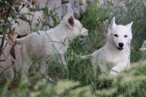 White-Swiss-Shepherd-Puppies-BTWWLPups-130619-0009