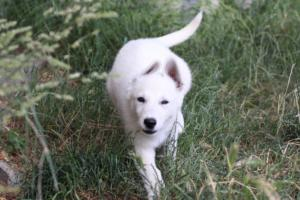 White-Swiss-Shepherd-Puppies-BTWWLPups-130619-0010