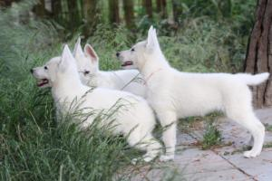 White-Swiss-Shepherd-Puppies-BTWWLPups-130619-0011