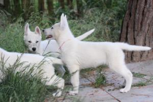 White-Swiss-Shepherd-Puppies-BTWWLPups-130619-0012