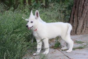 White-Swiss-Shepherd-Puppies-BTWWLPups-130619-0013