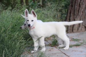White-Swiss-Shepherd-Puppies-BTWWLPups-130619-0014