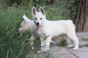 White-Swiss-Shepherd-Puppies-BTWWLPups-130619-0015