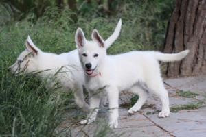 White-Swiss-Shepherd-Puppies-BTWWLPups-130619-0016