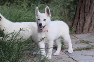 White-Swiss-Shepherd-Puppies-BTWWLPups-130619-0017
