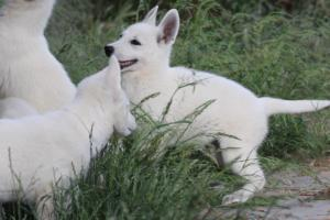 White-Swiss-Shepherd-Puppies-BTWWLPups-130619-0018