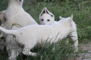 White-Swiss-Shepherd-Puppies-BTWWLPups-130619-0019