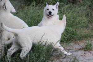 White-Swiss-Shepherd-Puppies-BTWWLPups-130619-0020