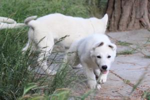 White-Swiss-Shepherd-Puppies-BTWWLPups-130619-0021