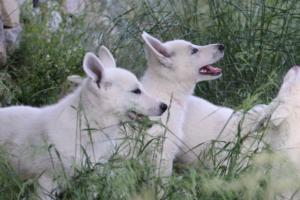 White-Swiss-Shepherd-Puppies-BTWWLPups-130619-0022