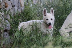 White-Swiss-Shepherd-Puppies-BTWWLPups-130619-0023