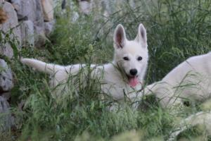 White-Swiss-Shepherd-Puppies-BTWWLPups-130619-0024