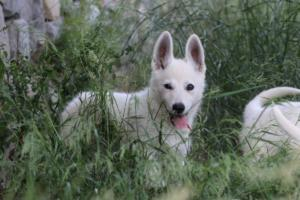 White-Swiss-Shepherd-Puppies-BTWWLPups-130619-0025