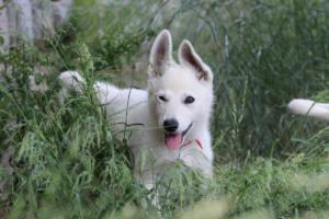White-Swiss-Shepherd-Puppies-BTWWLPups-130619-0026