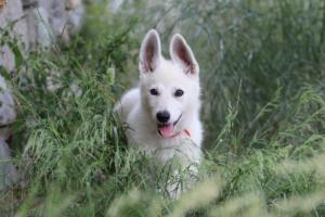 White-Swiss-Shepherd-Puppies-BTWWLPups-130619-0027