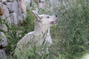 White-Swiss-Shepherd-Puppies-BTWWLPups-130619-0028