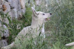 White-Swiss-Shepherd-Puppies-BTWWLPups-130619-0029