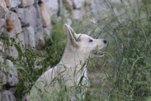 White-Swiss-Shepherd-Puppies-BTWWLPups-130619-0030