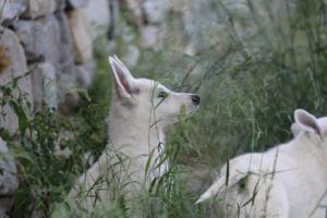 White-Swiss-Shepherd-Puppies-BTWWLPups-130619-0032