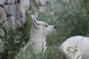 White-Swiss-Shepherd-Puppies-BTWWLPups-130619-0033