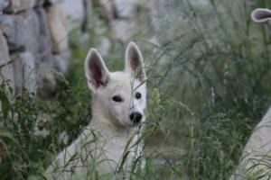 White-Swiss-Shepherd-Puppies-BTWWLPups-130619-0035
