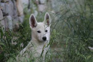 White-Swiss-Shepherd-Puppies-BTWWLPups-130619-0036