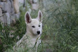 White-Swiss-Shepherd-Puppies-BTWWLPups-130619-0037