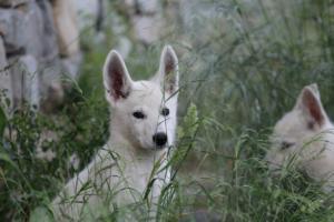 White-Swiss-Shepherd-Puppies-BTWWLPups-130619-0038