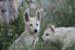 White-Swiss-Shepherd-Puppies-BTWWLPups-130619-0039