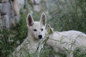 White-Swiss-Shepherd-Puppies-BTWWLPups-130619-0040