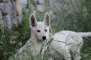 White-Swiss-Shepherd-Puppies-BTWWLPups-130619-0041