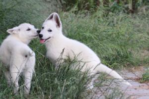 White-Swiss-Shepherd-Puppies-BTWWLPups-130619-0042