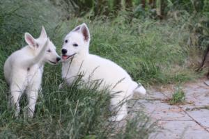 White-Swiss-Shepherd-Puppies-BTWWLPups-130619-0043