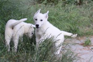White-Swiss-Shepherd-Puppies-BTWWLPups-130619-0044