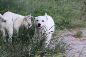 White-Swiss-Shepherd-Puppies-BTWWLPups-130619-0045