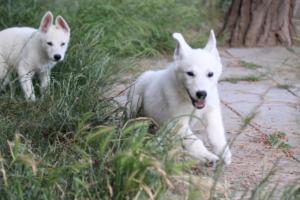 White-Swiss-Shepherd-Puppies-BTWWLPups-130619-0046