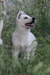 White-Swiss-Shepherd-Puppies-BTWWLPups-130619-0047