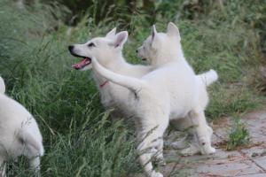 White-Swiss-Shepherd-Puppies-BTWWLPups-130619-0048