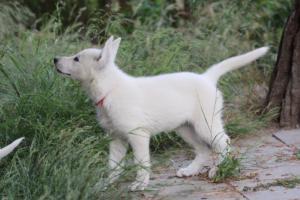 White-Swiss-Shepherd-Puppies-BTWWLPups-130619-0049