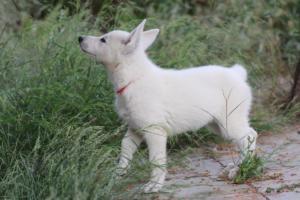 White-Swiss-Shepherd-Puppies-BTWWLPups-130619-0050