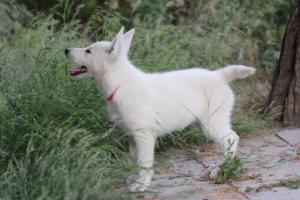 White-Swiss-Shepherd-Puppies-BTWWLPups-130619-0051